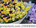 中提琴 花朵 花 29998989
