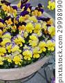 中提琴 花朵 花 29998990