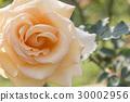 Closeup of the the light orange reose 30002956