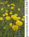 Yellow dandelions 30013887