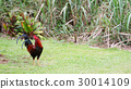 chicken, gallus, fowl 30014109