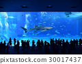 The popular Whale shark swimming elegantly at the Churaumi Aquarium 30017437