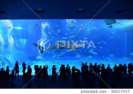 츄라 우미 수족관에서 우아하게 수영 인기 고래 상어 30017437