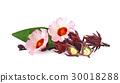 Hibiscus sabdariffa or roselle flower 30018288