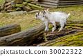 goat kid animal 30022322