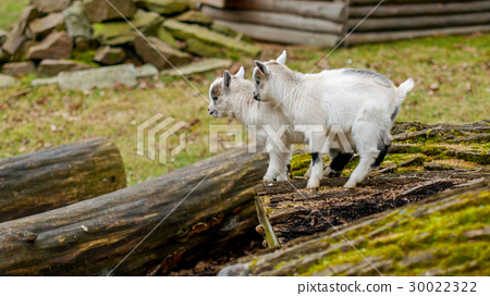 Adorable baby goat jumping around on a pasture 30022322