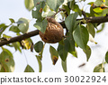 rotten pear on the tree 30022924