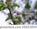 tree, branch, bud 30023050