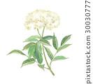 Elderflower 30030777