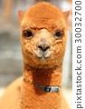 羊駝 嬰兒 寶寶 30032700