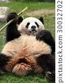 팬더, 판다, 자이언트 팬더 30032702