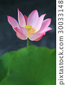 Pink waterlily on tropical garden 30033148
