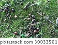acorn, nature, natural 30033501