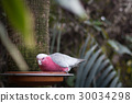 red chested cockatoo canary bird 30034298