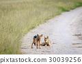 豺 野生生物 动物 30039256