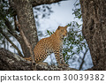 Leopard sitting in a tree. 30039382