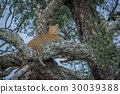 Leopard laying in a tree. 30039388