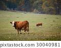 Cows on autumn pasture 30040981
