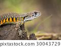 lizard agama lizards 30043729