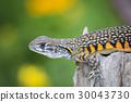 lizard agama lizards 30043730