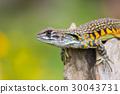 lizard agama lizards 30043731
