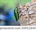 jewel beetle on tree. 30052846