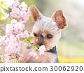 벚꽃과 요크셔 테리어 30062920