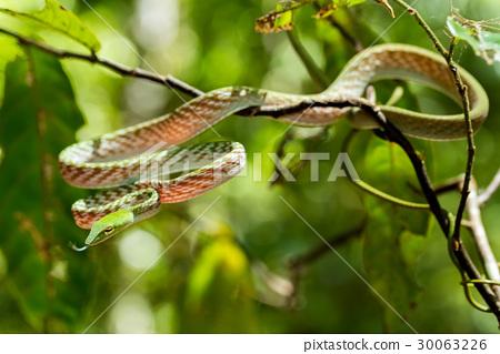 green Asian Vine Snake (Ahaetulla prasina) 30063226