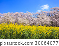 Akagi South side Senbonzakura's cherry blossoms and rape blossoms Gumma Prefecture Maebashi City 30064077