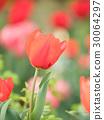 tulipa, tulip, field 30064297