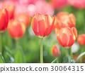 tulipa, tulip, field 30064315