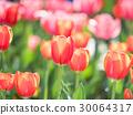tulipa, tulip, field 30064317
