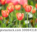 tulipa, tulip, field 30064318