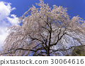 weeping, cherry, blossom 30064616