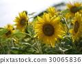 summer, sunflower, sunflowers 30065836