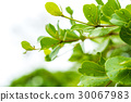 Green leaf isolated on white 30067983