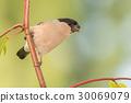 branch, finch, female 30069079