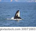 逆戟鲸 知床 海洋生物 30071663