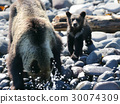 brown, bear, parenthood 30074309
