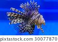 Zebra lionfish 30077870
