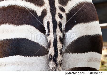 Tail of Zebra close up 30081448