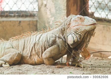 Green Iguana 30082606