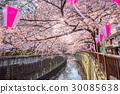 目黑区河 樱花 吉野樱花树 30085638