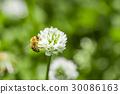 토끼풀, 클로버, 꽃 30086163