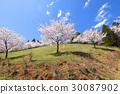 ดอกซากุระบาน,ซากุระบาน,ฤดูใบไม้ผลิ 30087902