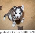 puppy animal dog 30088928