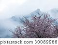 樱花 樱桃树 野樱桃树 30089966