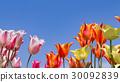 ทุ่งดอกไม้,ทิวลิป,ดอกไม้ 30092839