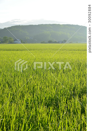 Shoot the rice field scenery of heading stage illuminated by the morning sun 30092884