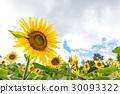 向日葵的花朵 30093322